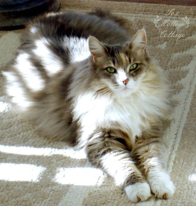 Alley Cat - Maine Coon Fox Hollow Cottage