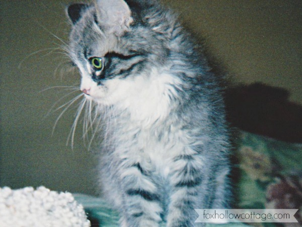 Fatty Bubs Maine Coon kitten foxhollowcottage