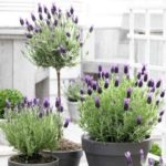Crushing On Lavender Topiaries