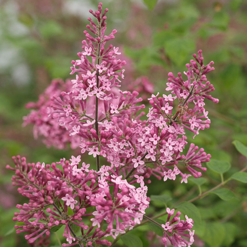 Lilac Tips, Facts and Uses - Syringa 'Josee' or Josee reblooming lilac