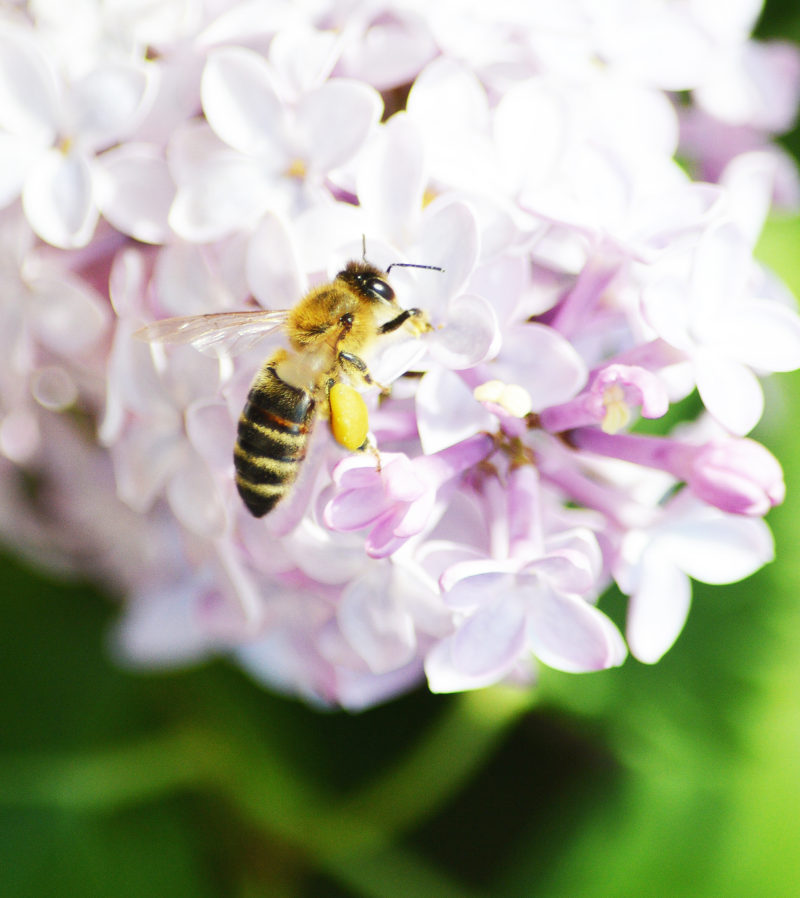 Lilac flower blossom facts tips uses - bee on lilac photo by birds bees and great big trees