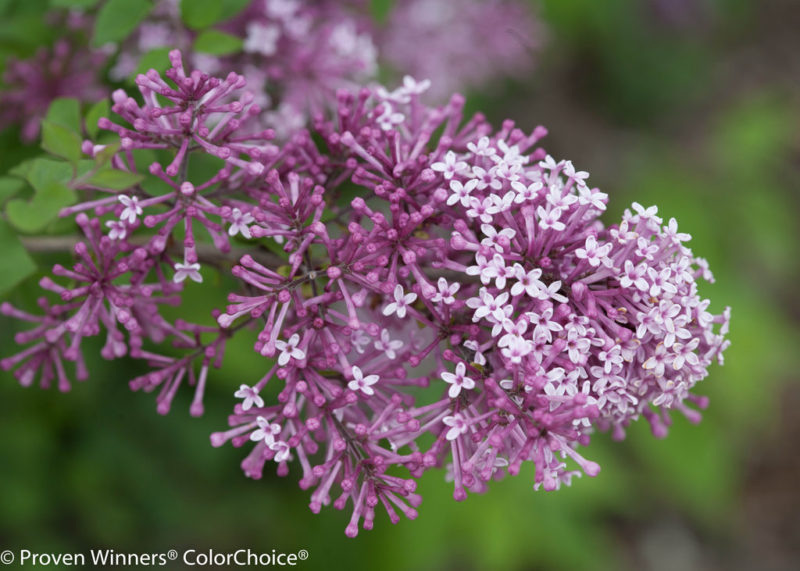 Lilac tips facts and uses - reblooming bloomerang