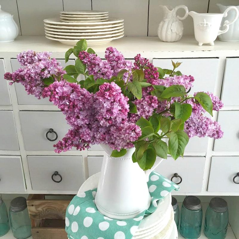 Cottage farmhouse spring blooms. Lilac flower blossoms. Tips, facts and uses.