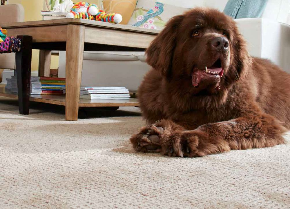 Flooring America Stainmater PetProtectCarpet Information and Sale - sponsored pin